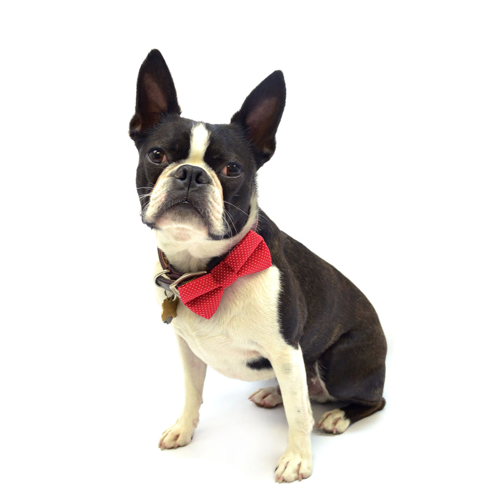 Boston Terrier wearing red polka dot dog bow tie