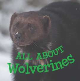 All about Wolverines