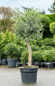 Olea Europaea Olive Tree 150cm x 70cm with Wide Stem