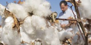 The Best Cotton in the World?