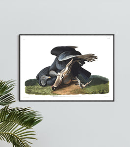 Black Vulture or Carrion Crow Print by John Audubon