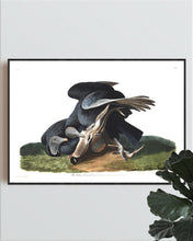 Load image into Gallery viewer, Black Vulture or Carrion Crow Print by John Audubon