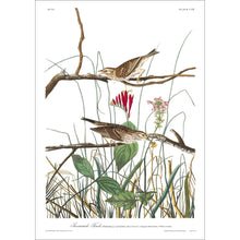 Load image into Gallery viewer, Savannah Finch Print by John Audubon
