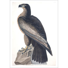 Load image into Gallery viewer, Bird of Washington Print by John Audubon
