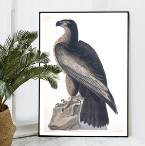 Bird of Washington Print by John Audubon