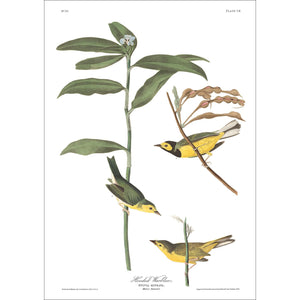 Hooded Warbler Print by John Audubon
