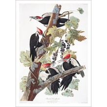 Load image into Gallery viewer, Pileated Woodpecker Print by John Audubon