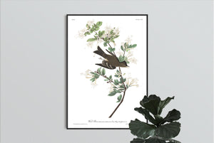 Wood Pewee Print by John Audubon
