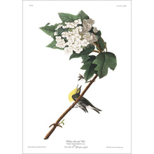 Load image into Gallery viewer, Yellow-Throated Viero Print by John Audubon