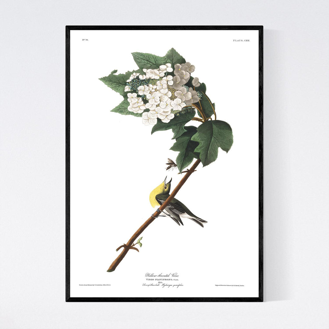Yellow-Throated Viero Print by John Audubon