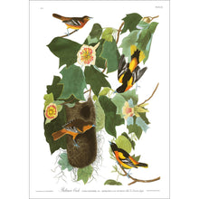 Load image into Gallery viewer, Baltimore Oriole Print by John Audubon