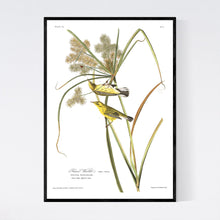 Load image into Gallery viewer, Prairie Warbler Print by John Audubon