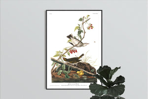Golden-Crowned Thrush Print by John Audubon
