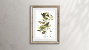 Small Green Crested Flycatcher Print by John Audubon