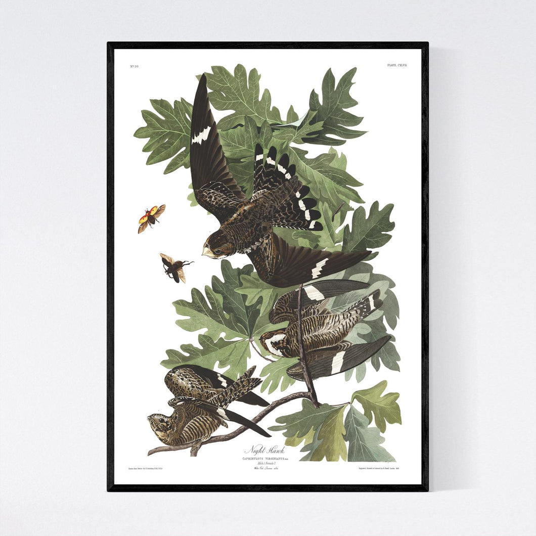 Night Hawk Print by John Audubon