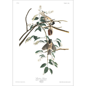 Carolina Titmouse Print by John Audubon