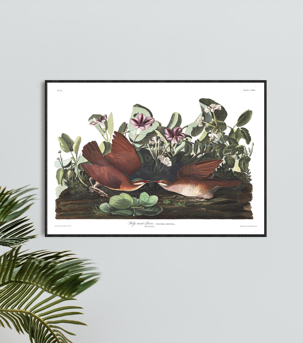 Key-West Dove Print by John Audubon