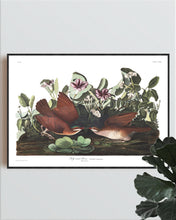 Load image into Gallery viewer, Key-West Dove Print by John Audubon