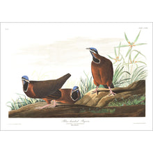 Load image into Gallery viewer, Blue-Headed Pigeon Print by John Audubon