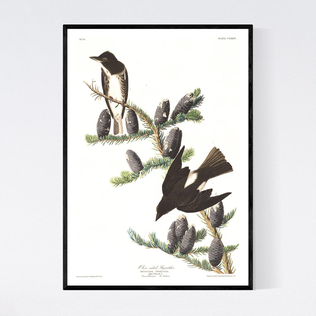 Olive Sided Flycatcher Print by John Audubon