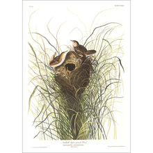 Load image into Gallery viewer, Nuttall's Lesser-Marsh Wren Print by John Audubon