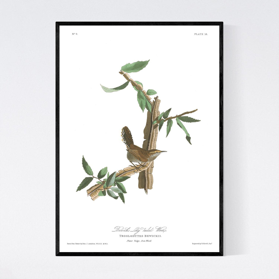 Berwick's Long Tailed Wren Print by John Audubon