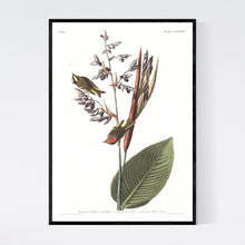 Load image into Gallery viewer, American Golden Crested Wren Print by John Audubon