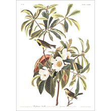 Load image into Gallery viewer, Bachman's Warbler Print by John Audubon