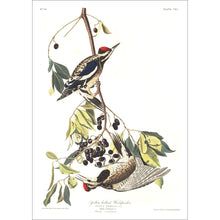 Load image into Gallery viewer, Yellow Bellied Woodpecker Print by John Audubon