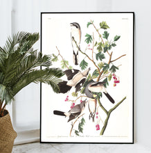Load image into Gallery viewer, Great Cinereous Shrike or Butcher Bird Print by John Audubon