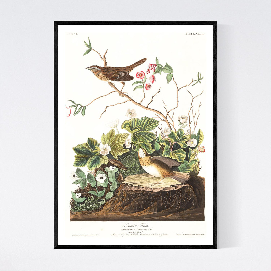 Lincoln Finch Print by John Audubon