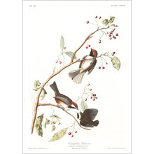 Load image into Gallery viewer, Canadian Titmouse Print by John Audubon