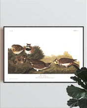 Load image into Gallery viewer, Shore Lark Print by John Audubon