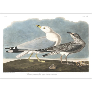 Common American Gull Print by John Audubon