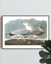 Load image into Gallery viewer, Common American Gull Print by John Audubon