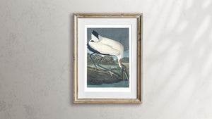 Wood Ibis Print by John Audubon
