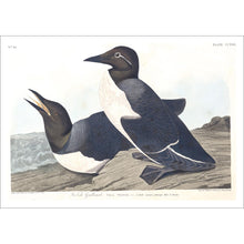 Load image into Gallery viewer, Foolish Guillemot Print by John Audubon