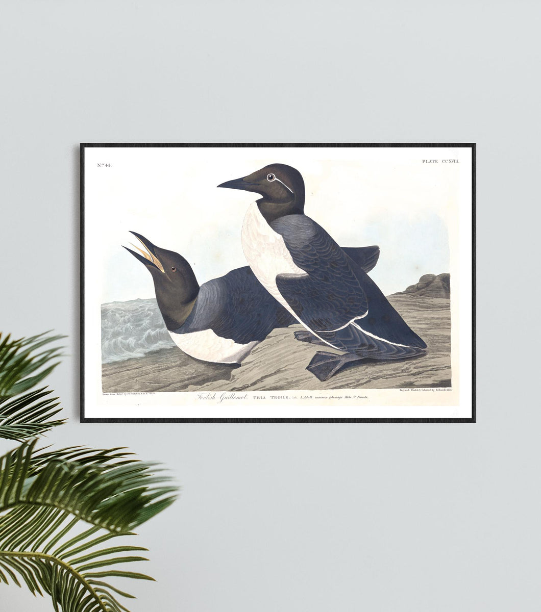 Foolish Guillemot Print by John Audubon