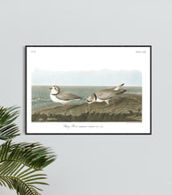 Load image into Gallery viewer, Piping Plover Print by John Audubon