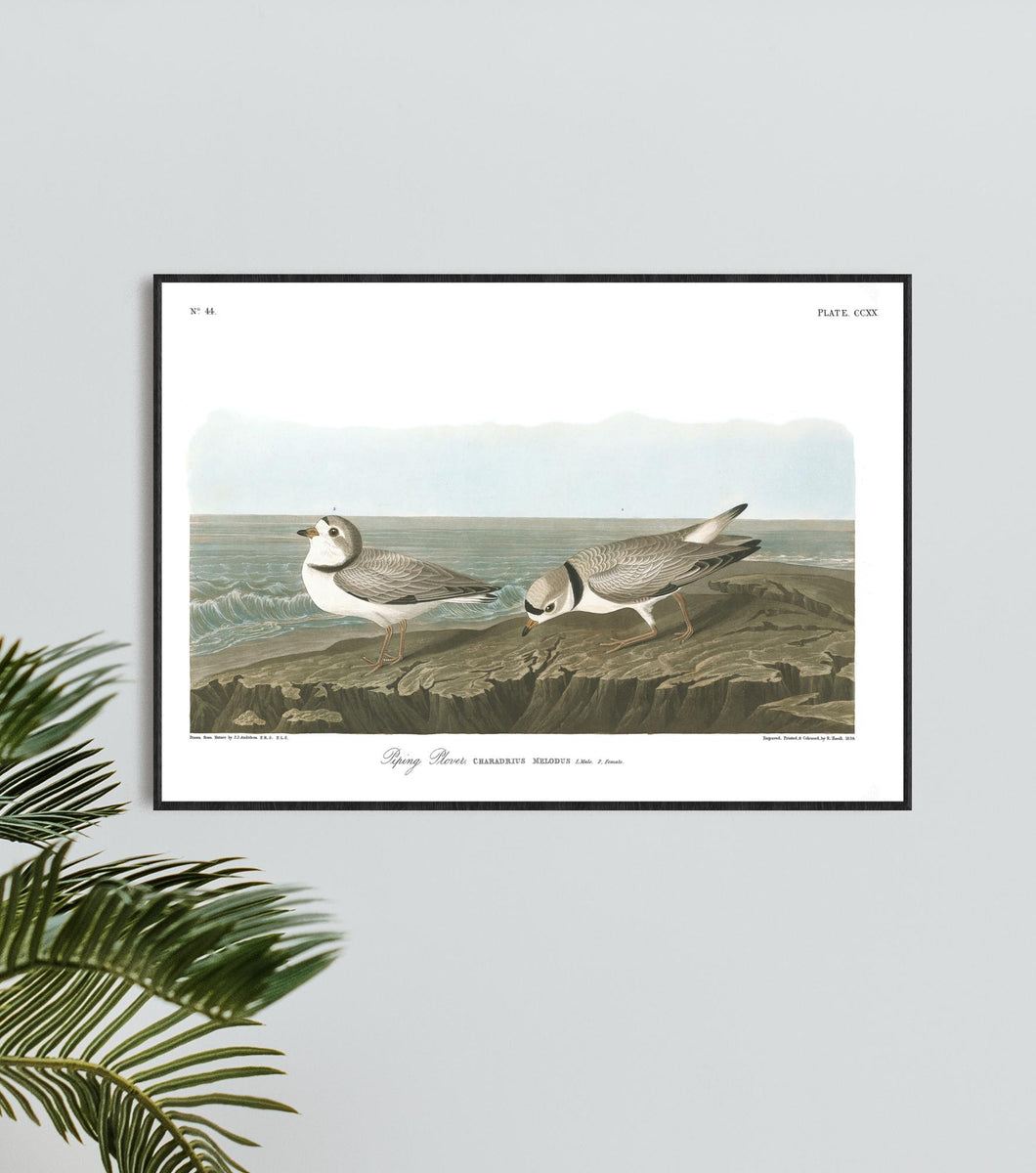 Piping Plover Print by John Audubon