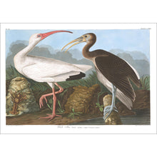 Load image into Gallery viewer, White Ibis Print by John Audubon