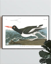 Load image into Gallery viewer, Pied Oyster Catcher Print by John Audubon