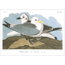 Load image into Gallery viewer, Kittiwake Gull Print by John Audubon
