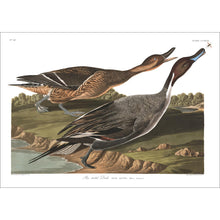 Load image into Gallery viewer, Pin Tailed Duck Print by John Audubon