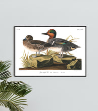 Load image into Gallery viewer, Green Winged Teal Print by John Audubon