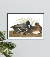 Load image into Gallery viewer, Scaup Duck Print by John Audubon