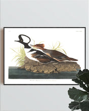 Load image into Gallery viewer, Hooded Merganser Print by John Audubon