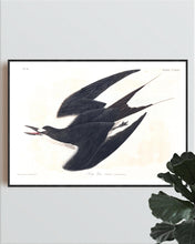 Load image into Gallery viewer, Sooty Tern Print by John Audubon