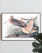 Load image into Gallery viewer, Great Marbled Godwit Print by John Audubon