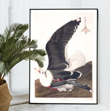 Load image into Gallery viewer, Black Backed Gull Print by John Audubon
